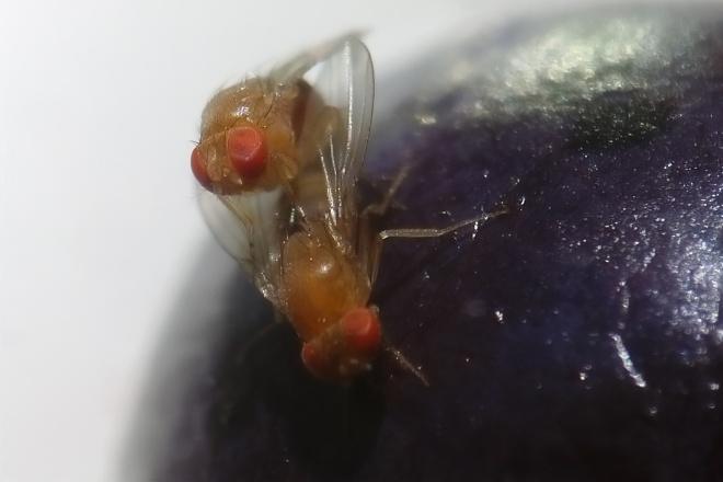 Cómo frenar la irrupción de Drosophila suzukii en los huertos de berries