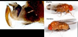 Como reconocer a Drosophila suzukii (Matsumura)